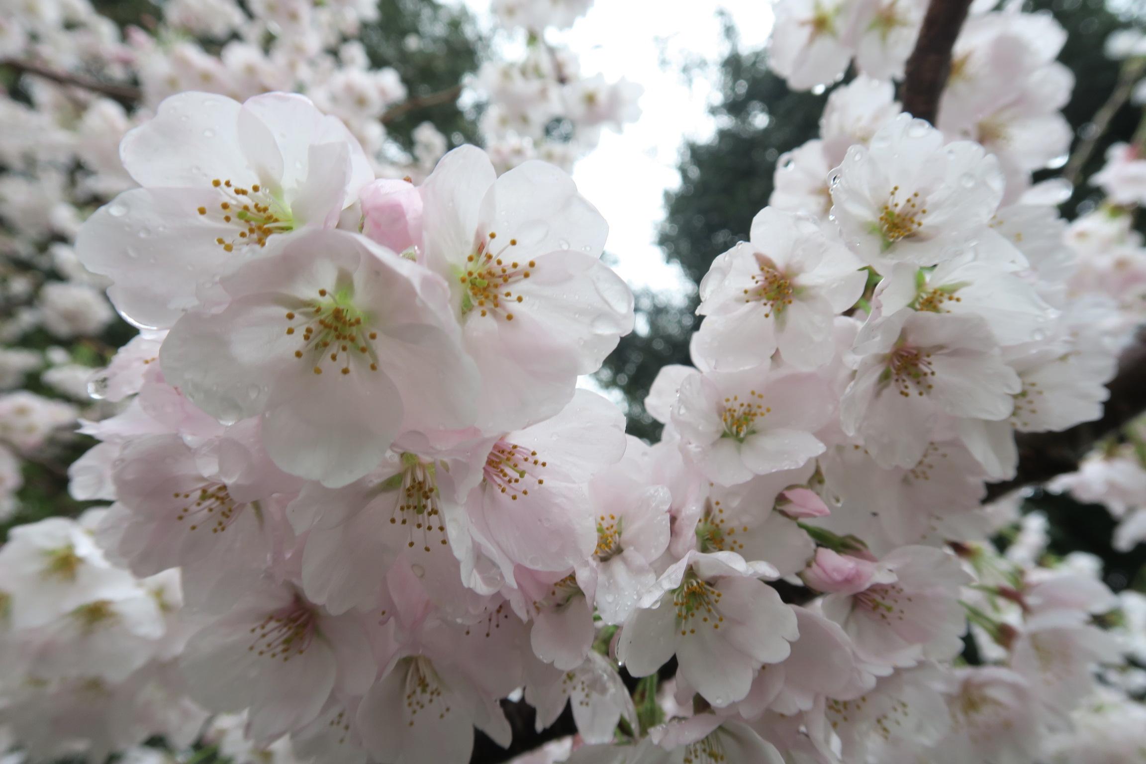 咲き始めたばかりで、花びらもきれい!