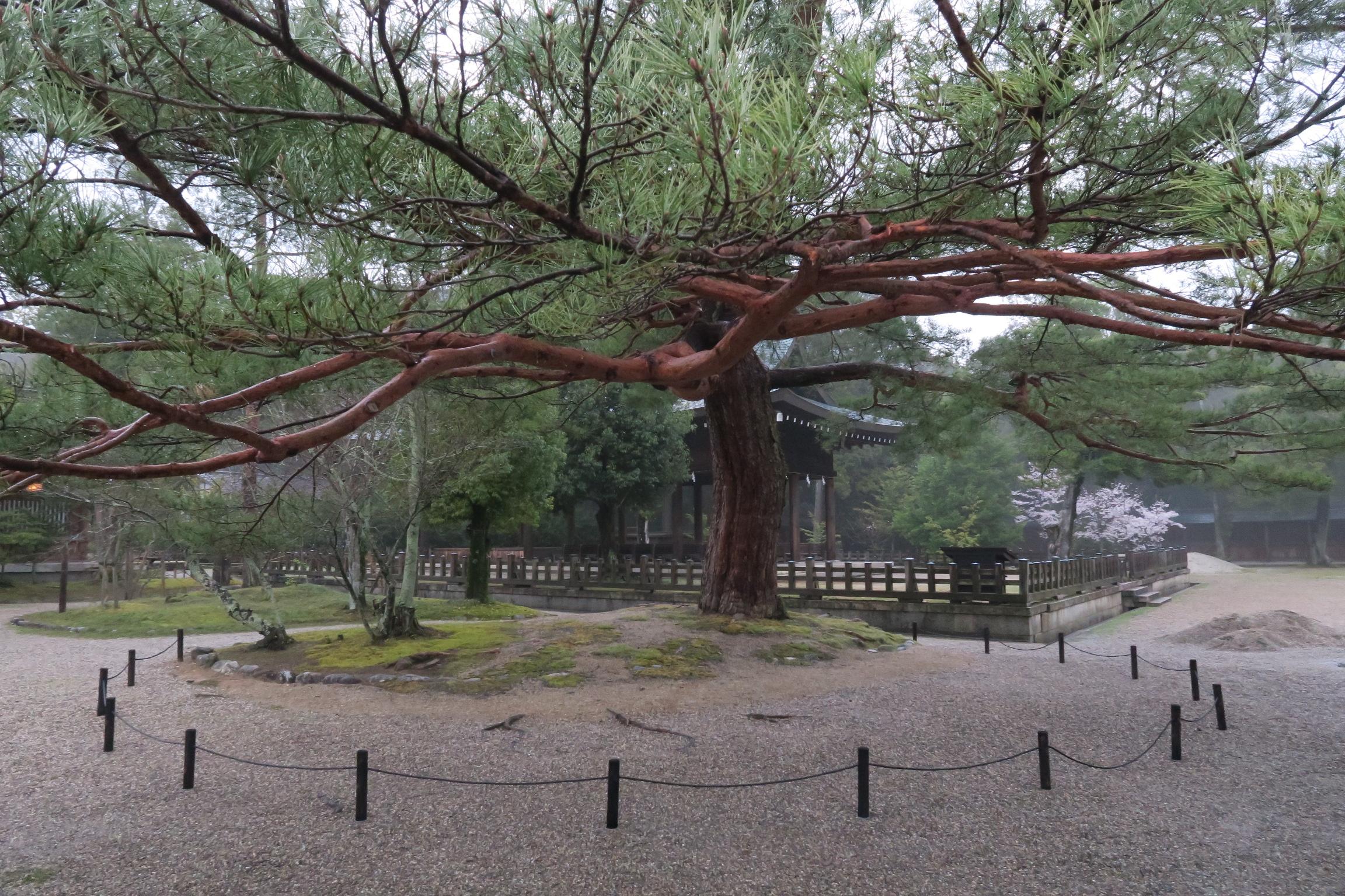 土間殿の横には、立派な松の木があります。