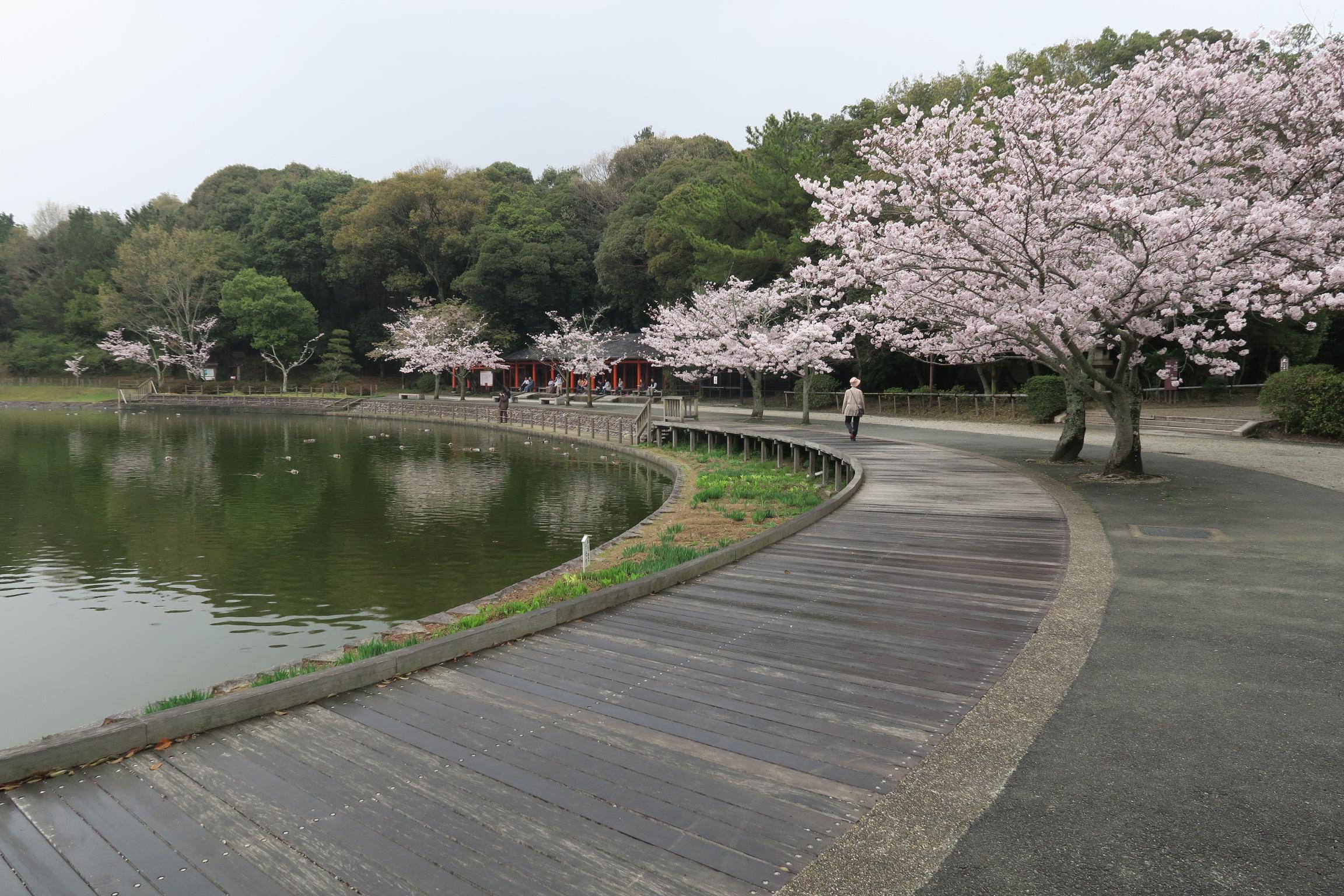 深田池沿いには桜が満開でした!天気も良ければ、気持ちよさそうです。