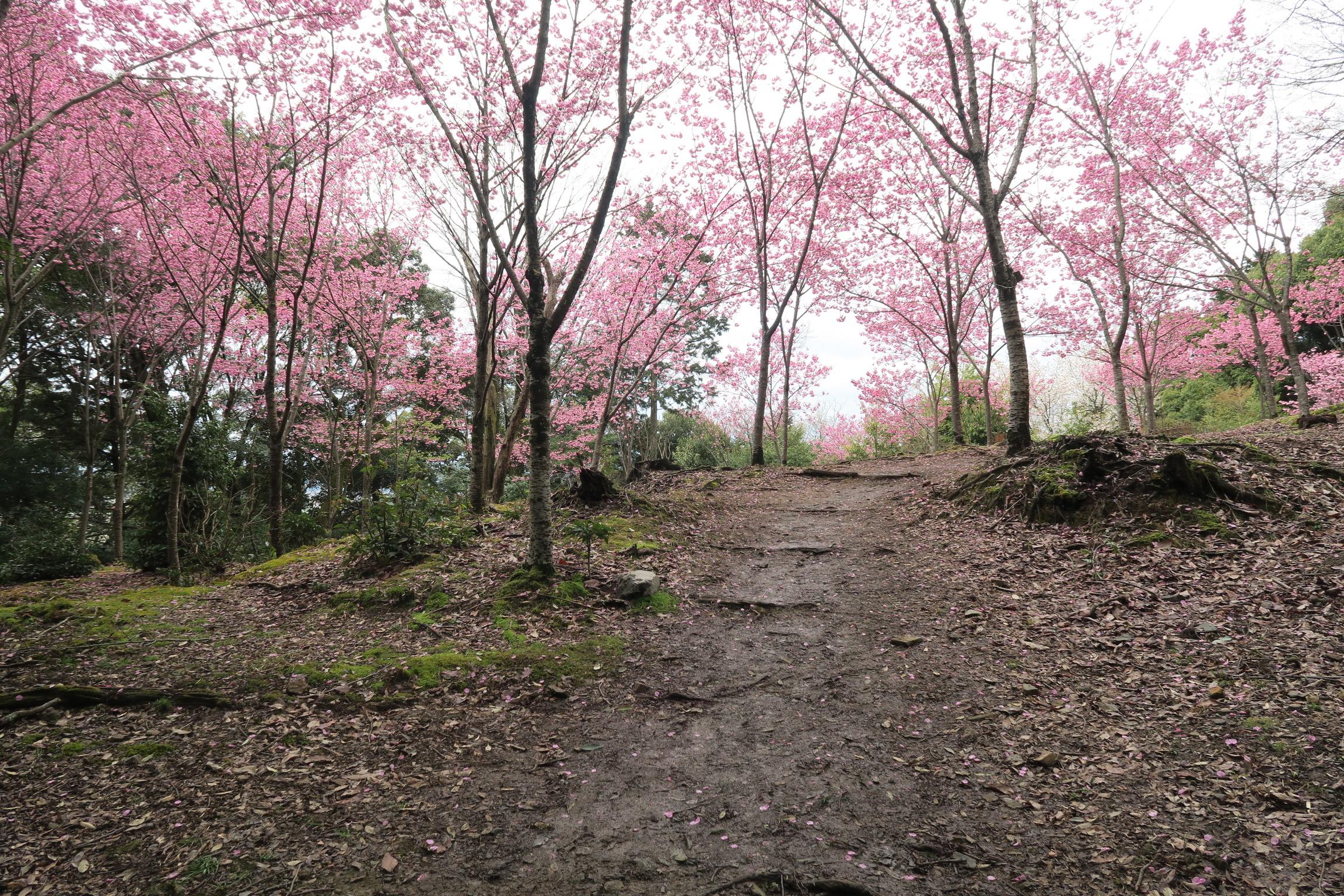 桃色に咲く桜がきれいでした!