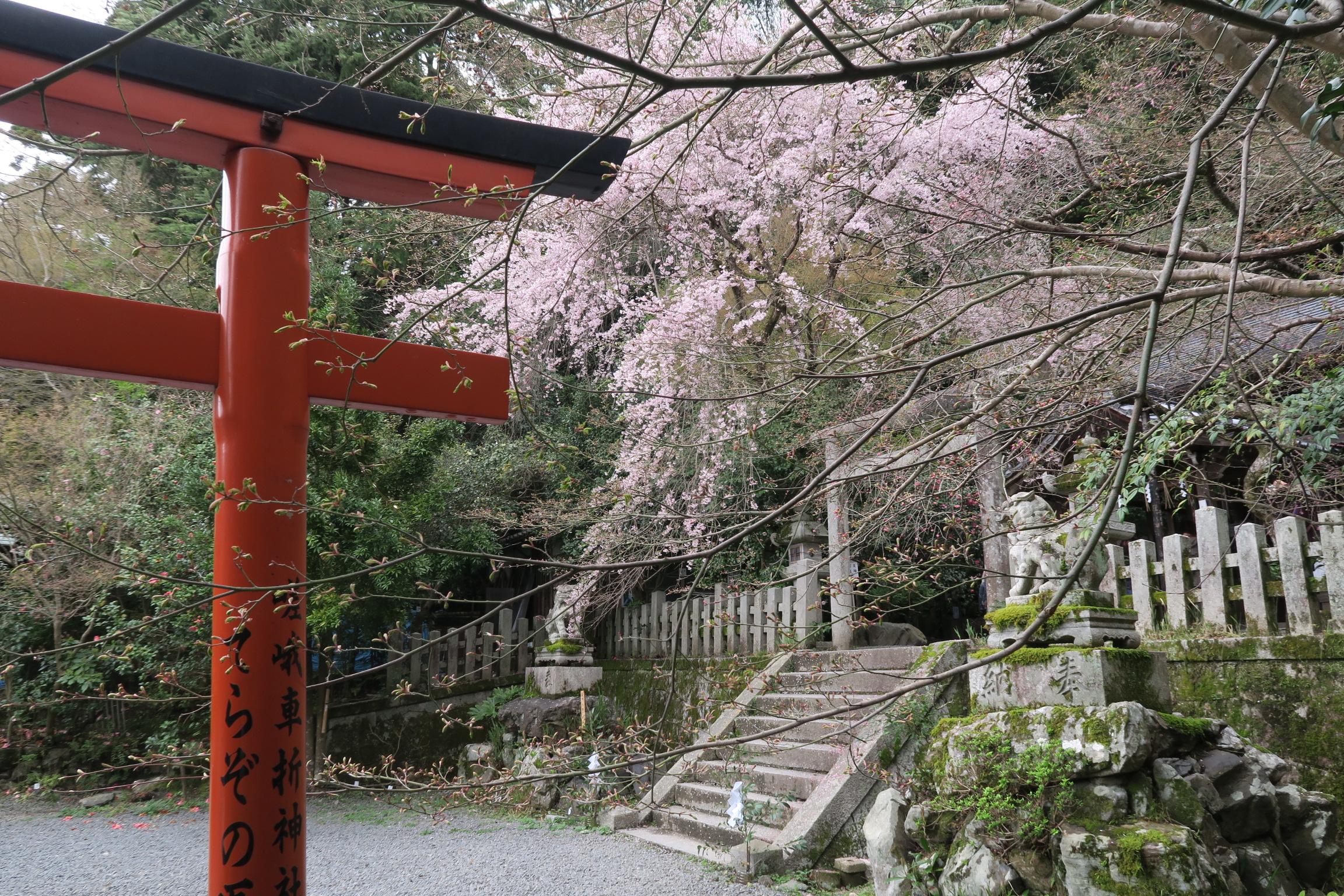 大豊神社のしだれ桜。