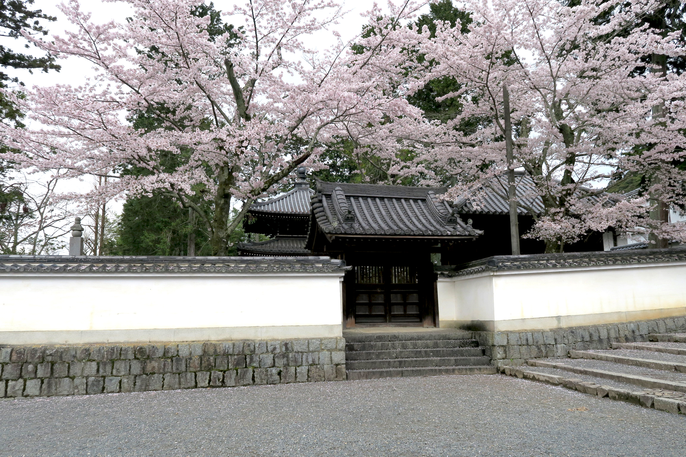 南禅寺専門道場の桜。桜の撮影ポイントにもなっていて、多くの観光客がここで記念撮影をしています。