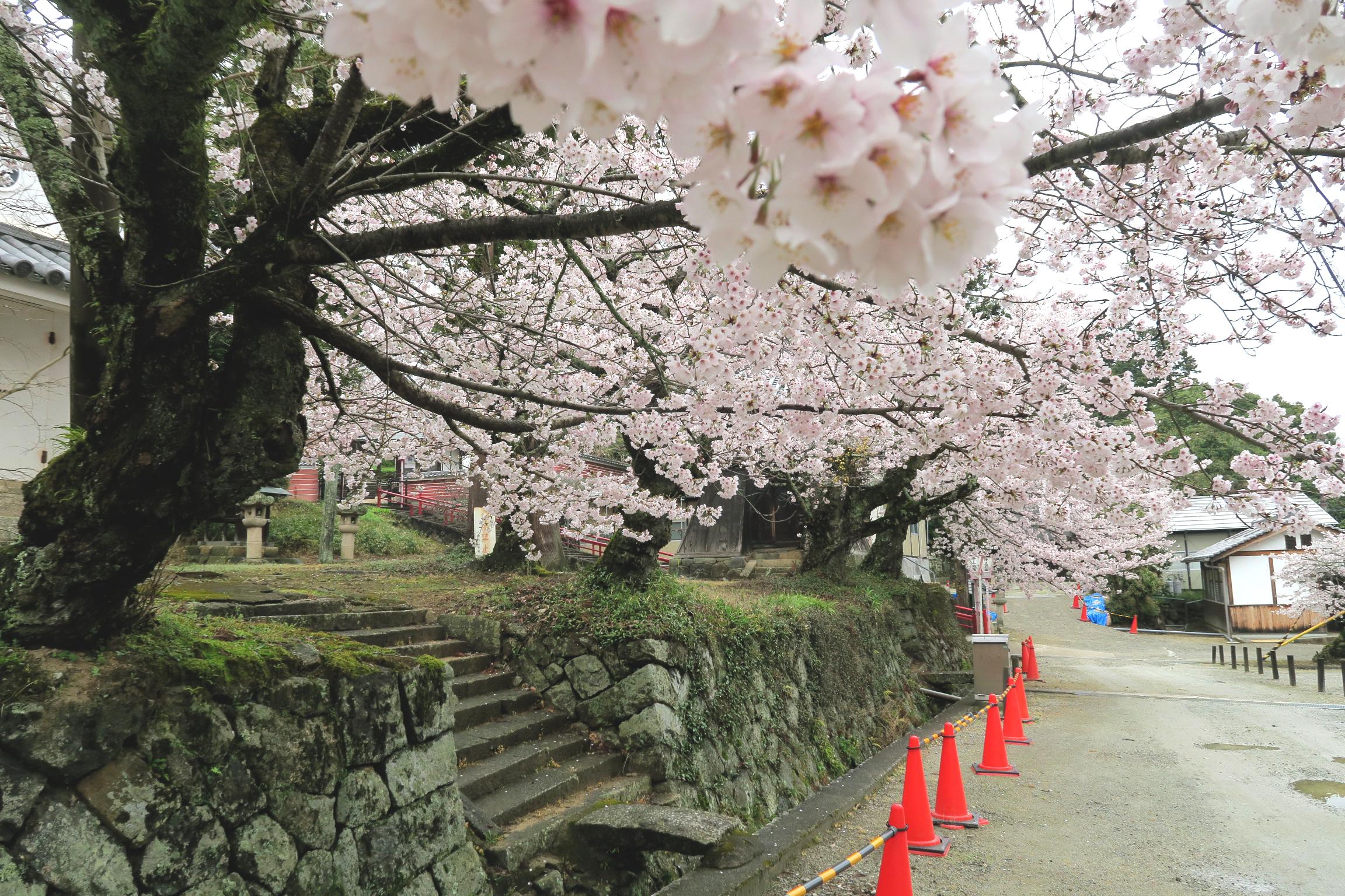 本堂裏の桜も見事に満開!赤いコーンは花見に夢中で落ちないようにするためですかね?
