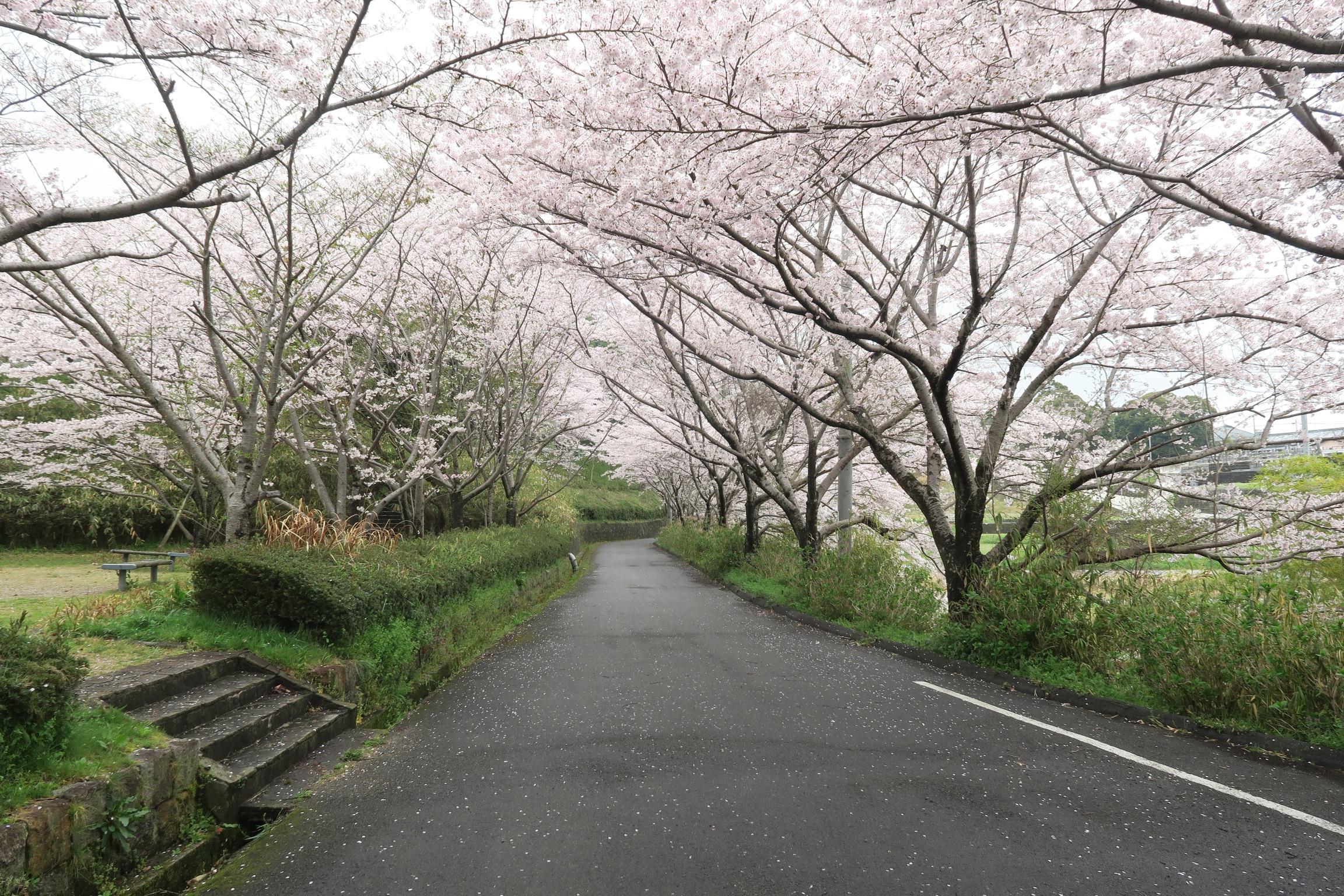 奈良県當麻健民運動場の横の道には桜が植えられ、美しい桜トンネルが楽しめます。