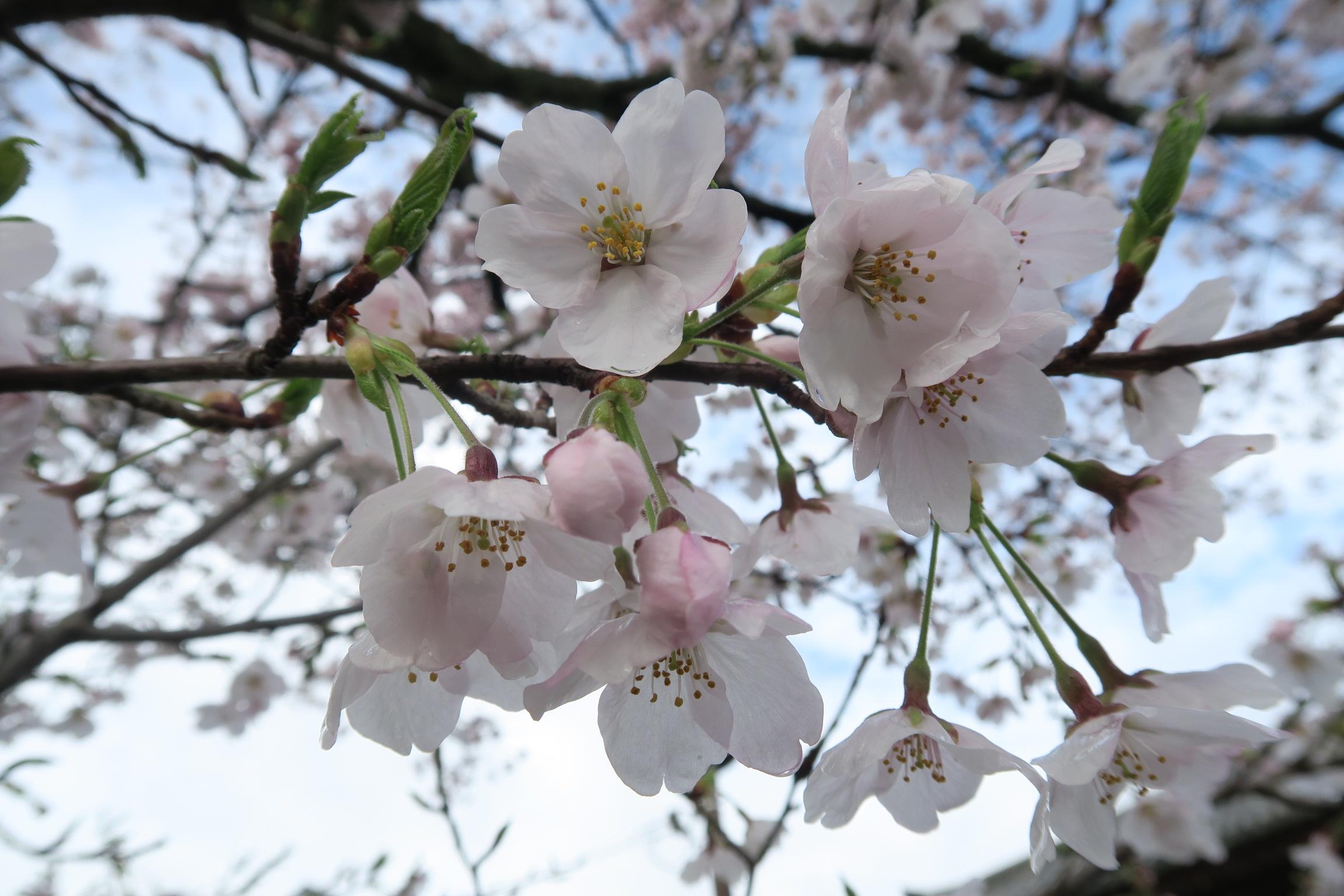 桜は散るのも早いので花びらの傷みも少なく落ちていきますが、やはり咲き始めはきれいですね。