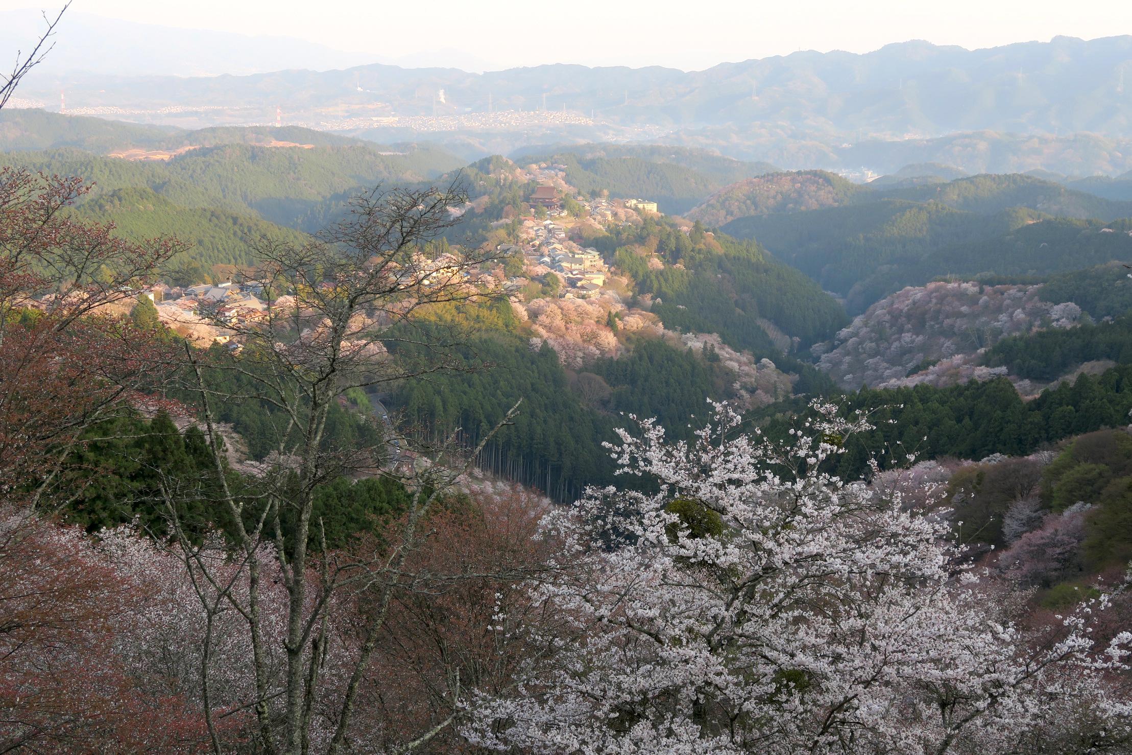 眺望は抜群です。上千本付近は、まだこれから咲く桜もありました。