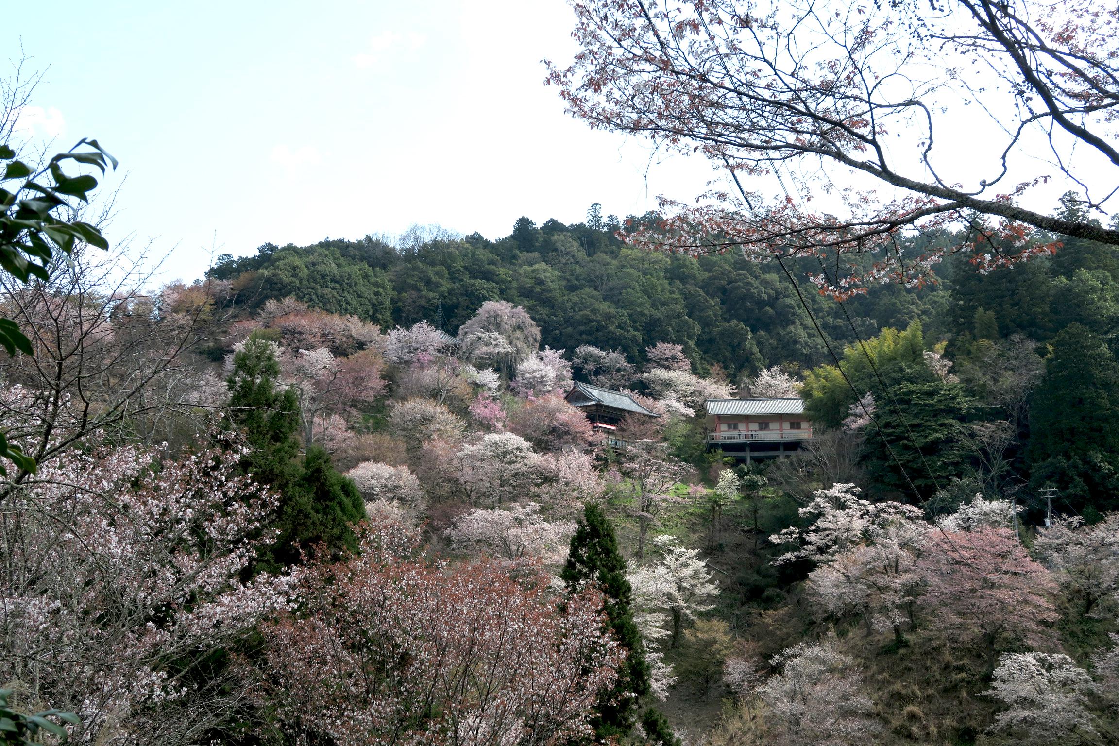 谷を挟んで向こう側に見える建物のある如意輪寺に向かいます。