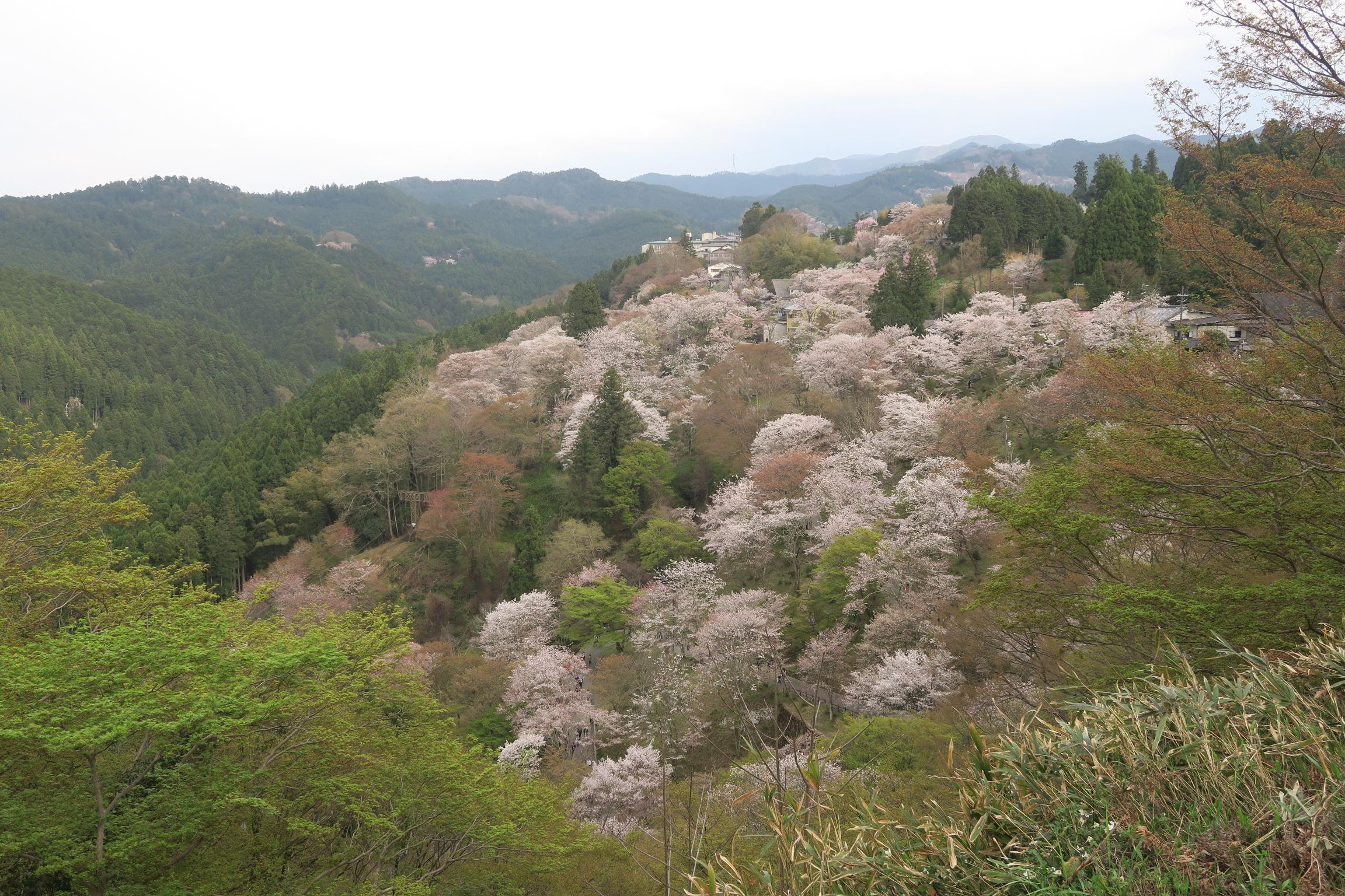 山の斜面に咲く桜も満開です。