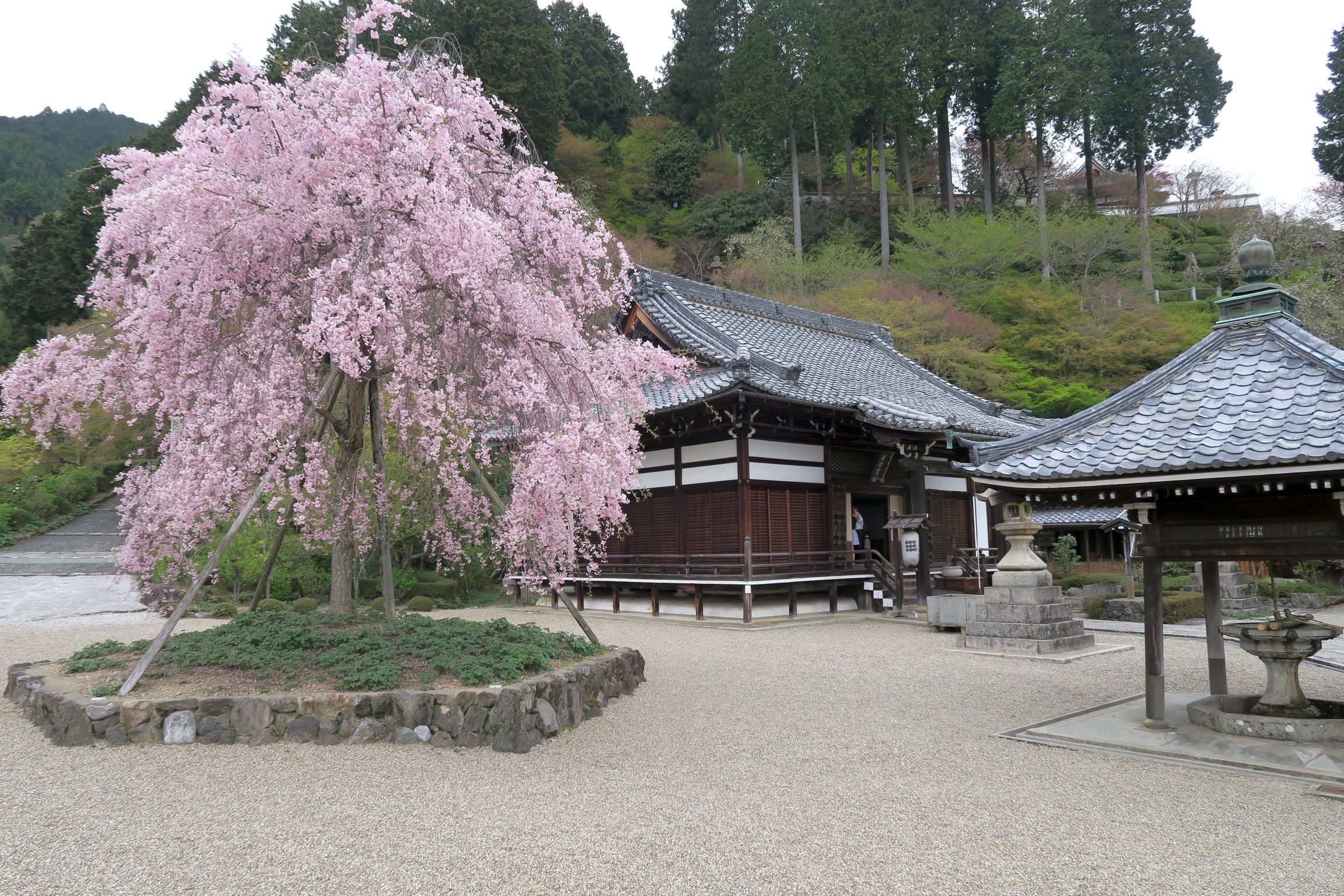 釈迦堂のしだれ桜は満開でした。善峯寺ではココの桜が最後に咲くようです。
