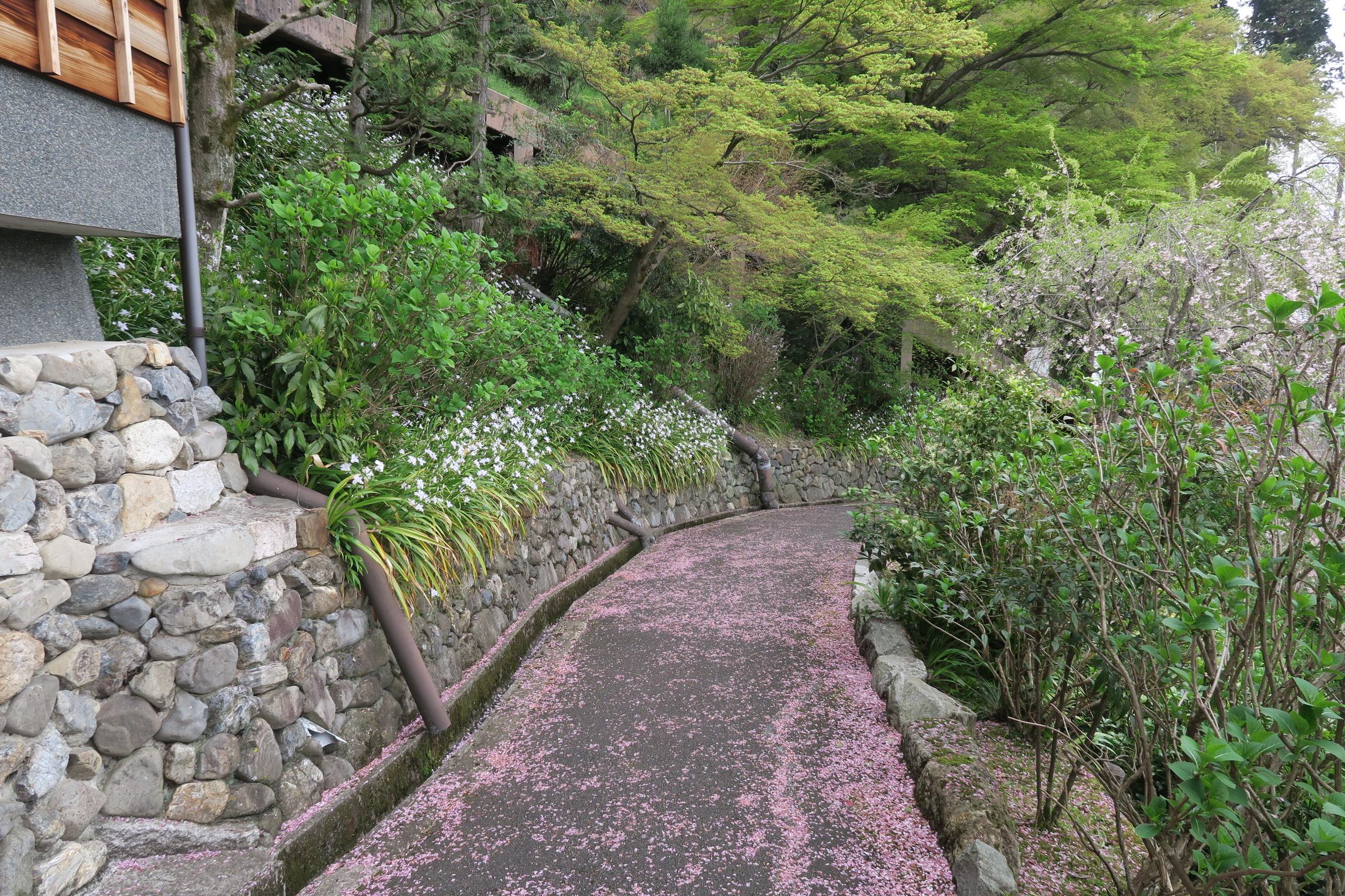 桜道。桃色に染まっていました!