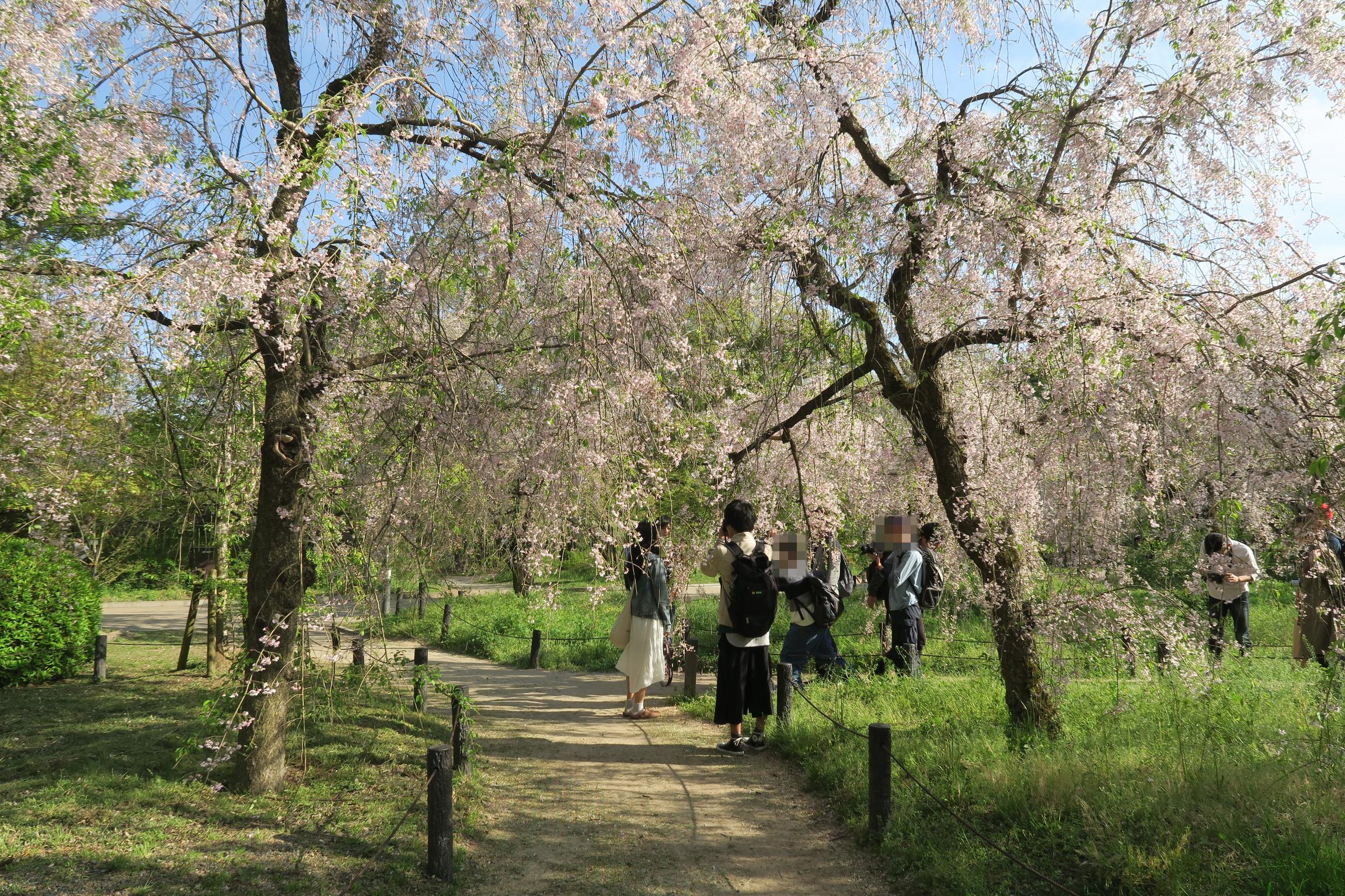 桜は散り始めていました。