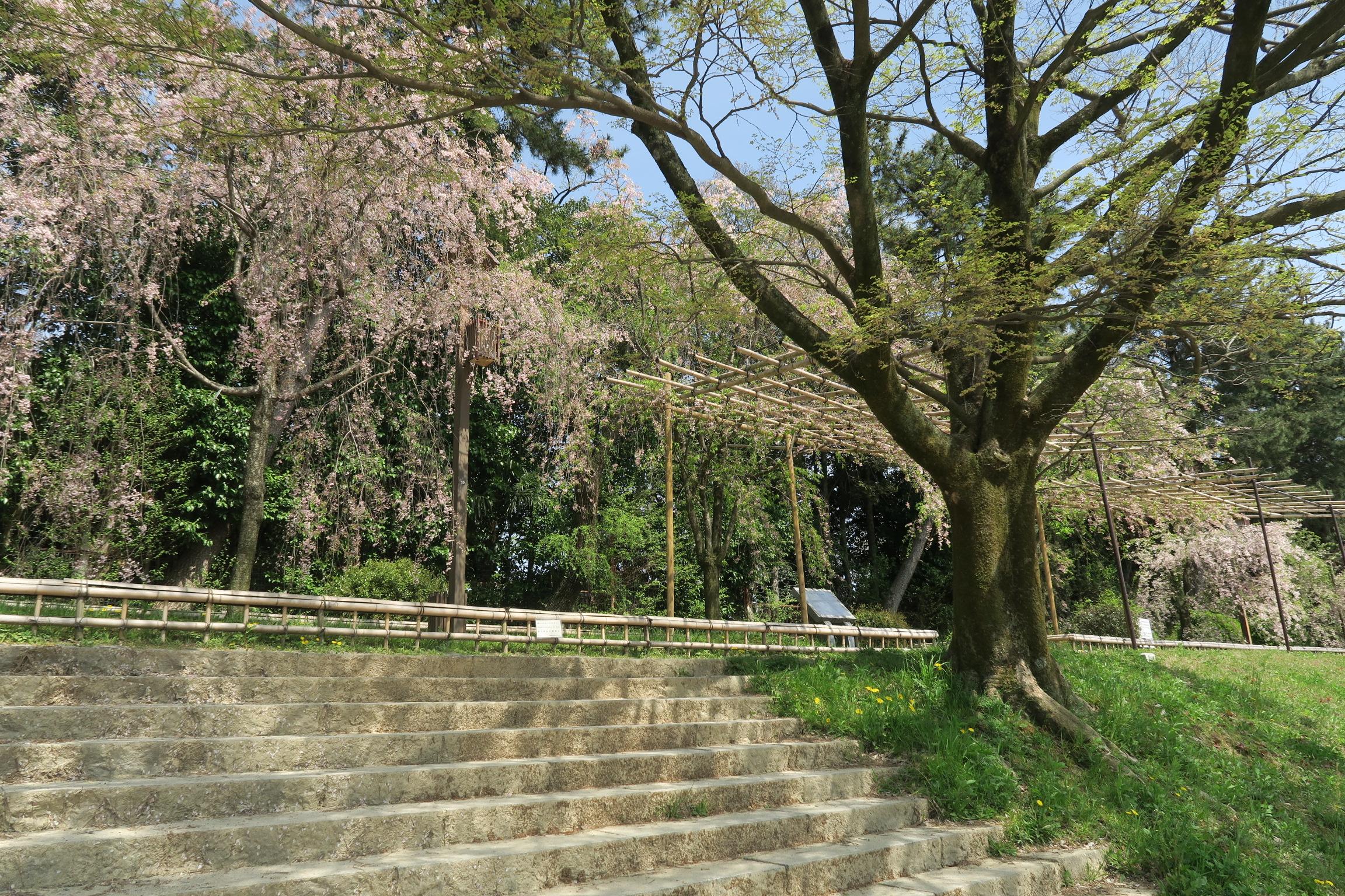 府立植物園の西側の川沿いでランチ。しだれ桜が薄っすらと残ってました。
