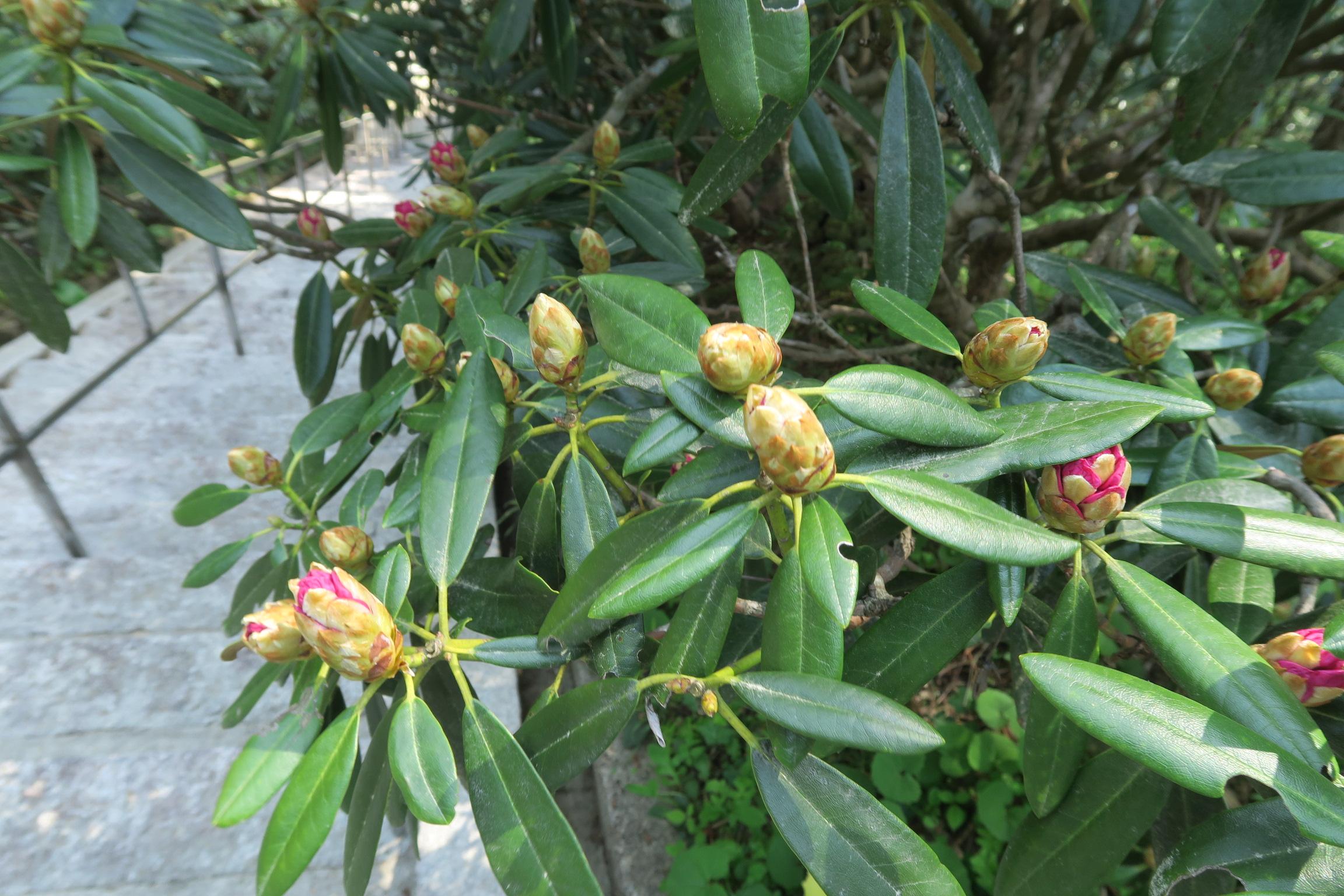 まだ蕾です。標高が高いので、室生寺よりも1週間ほど開花は遅いとのこと。