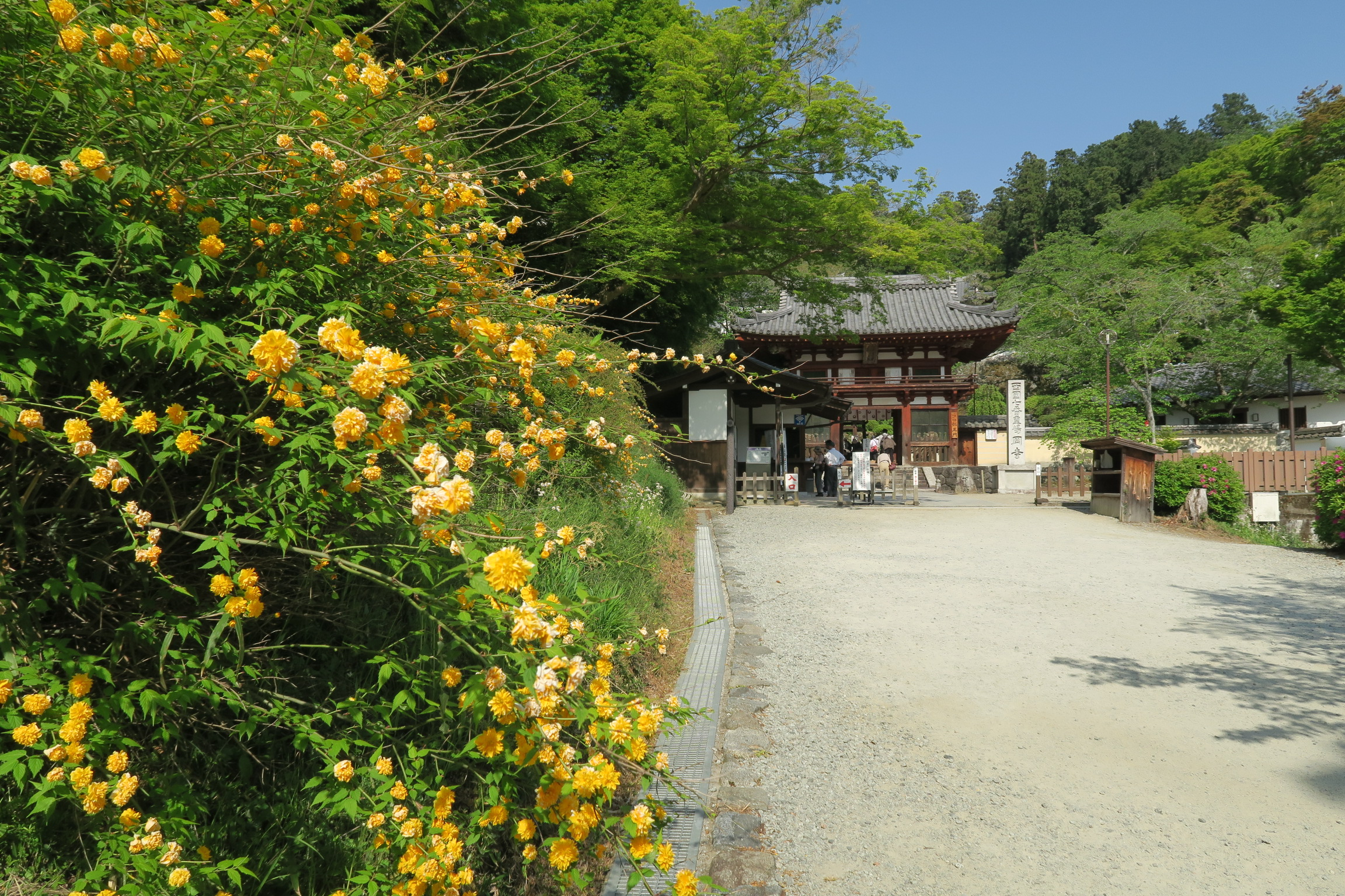 岡寺仁王門とヤマブキの花。