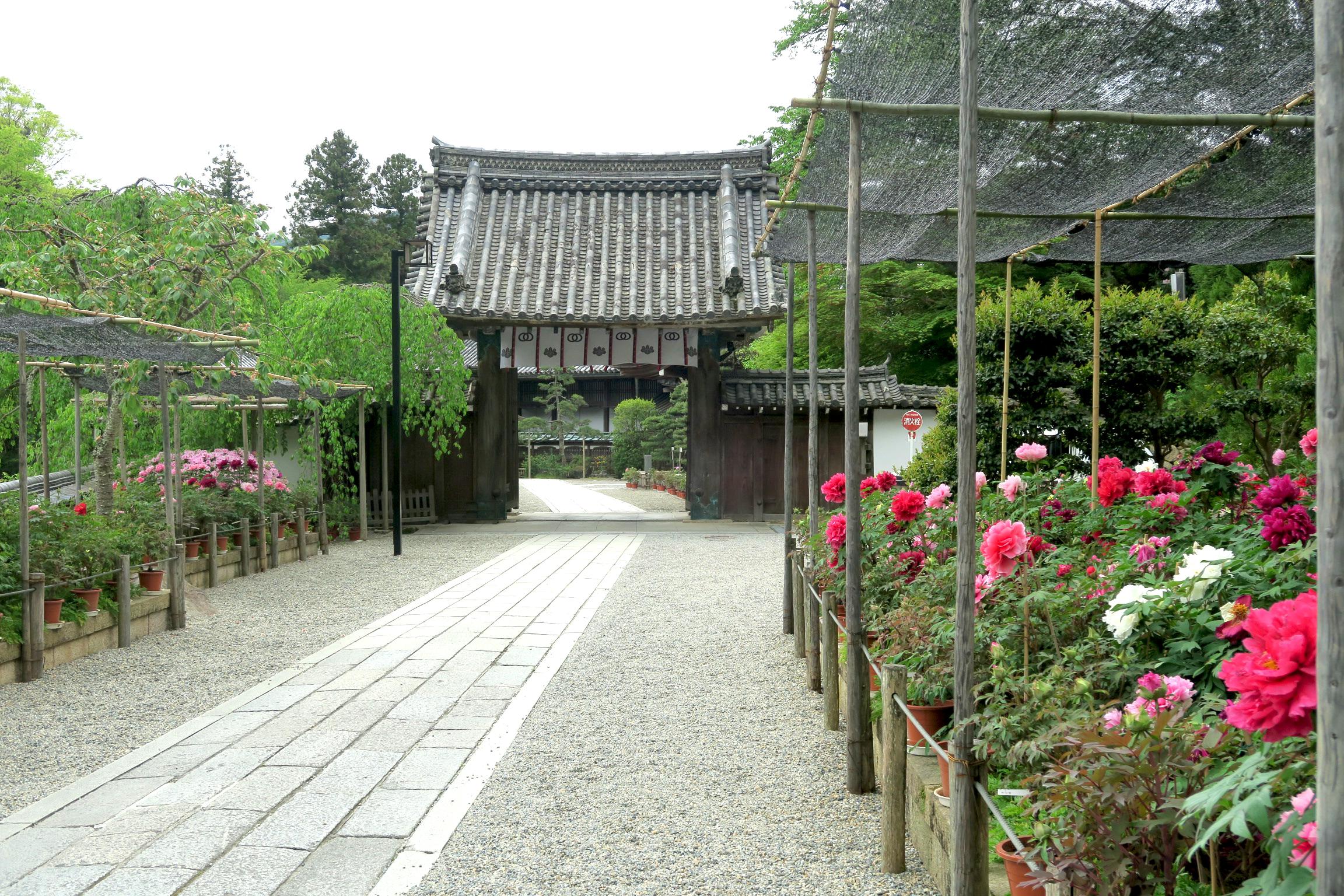 本坊までの参道にも牡丹の花がたくさん咲いています。