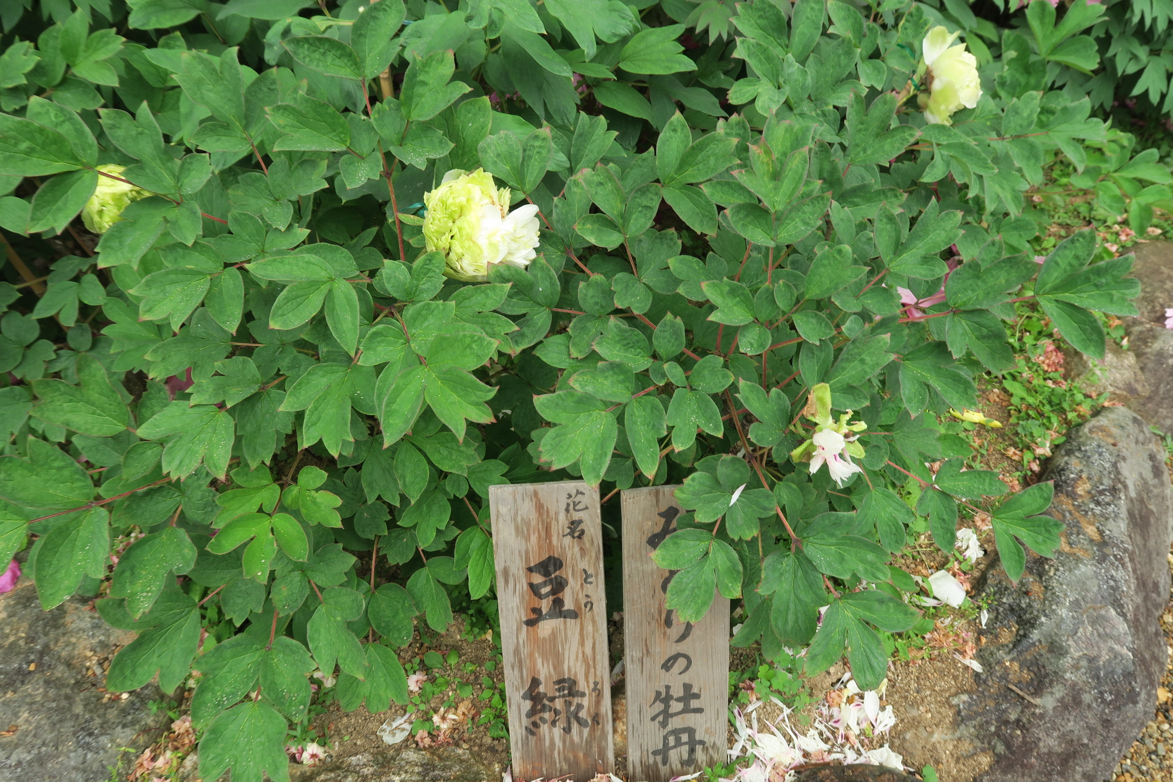 宝物館の庭に咲いていた珍しい「みどりの牡丹」です。あまり開花しない品種だそうです。