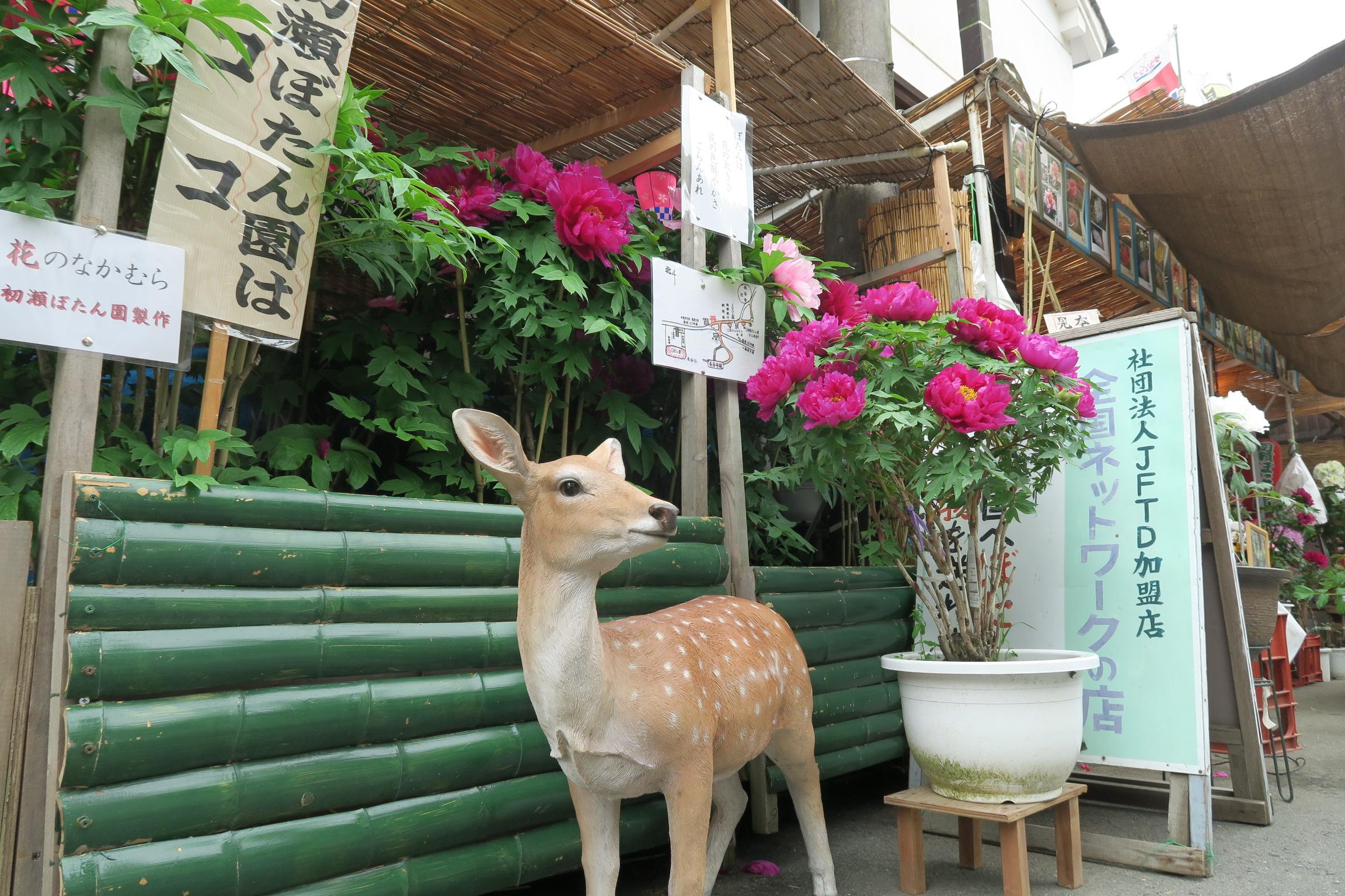 長谷寺を出たところの門前通りには、牡丹の販売もしています。シカさんがお出迎え。
