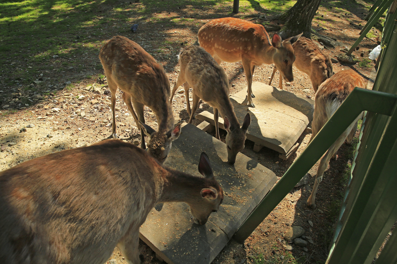 途中たくさんの鹿さんに出会えます。
