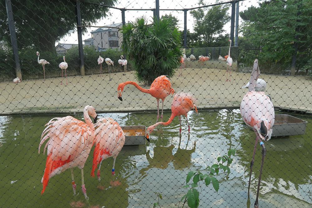 京都市動物園 フラミンゴ