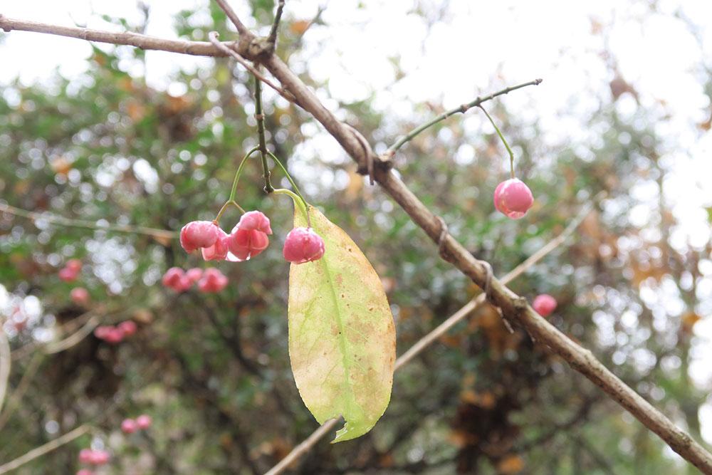 京都府立植物園 マユミ