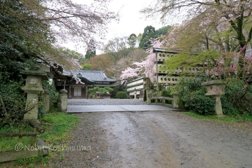 大石神社 桜