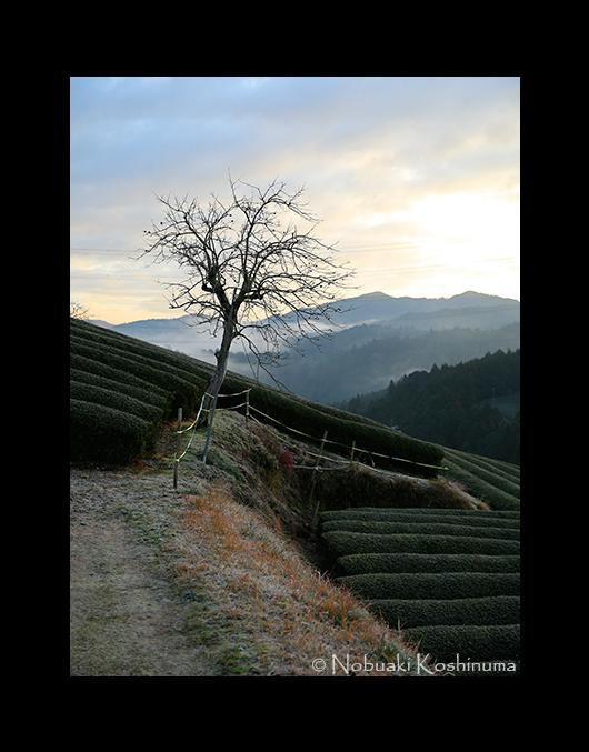 和束のお茶畑