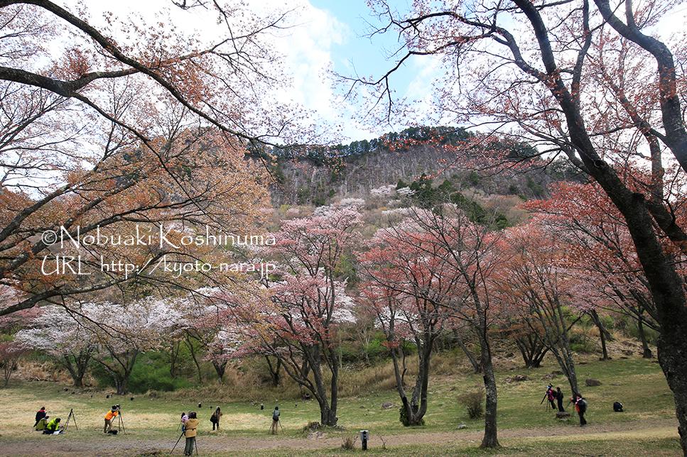 奈良 屏風岩とヤマザクラ