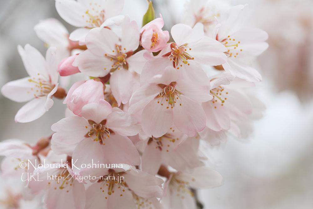 京都御所 しだれ桜