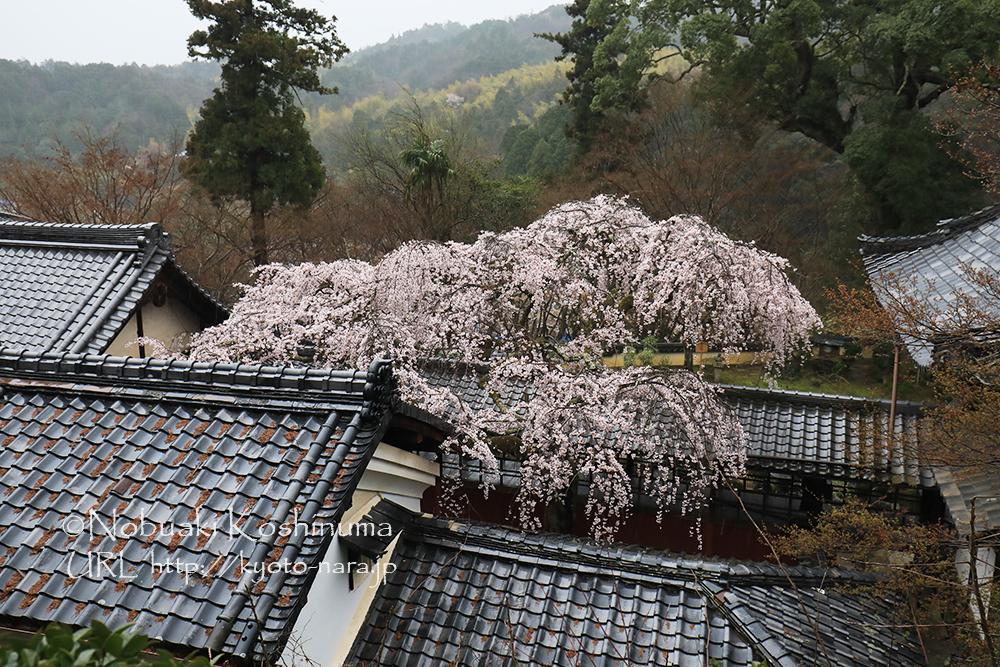 十輪寺 しだれ桜 なりひら桜