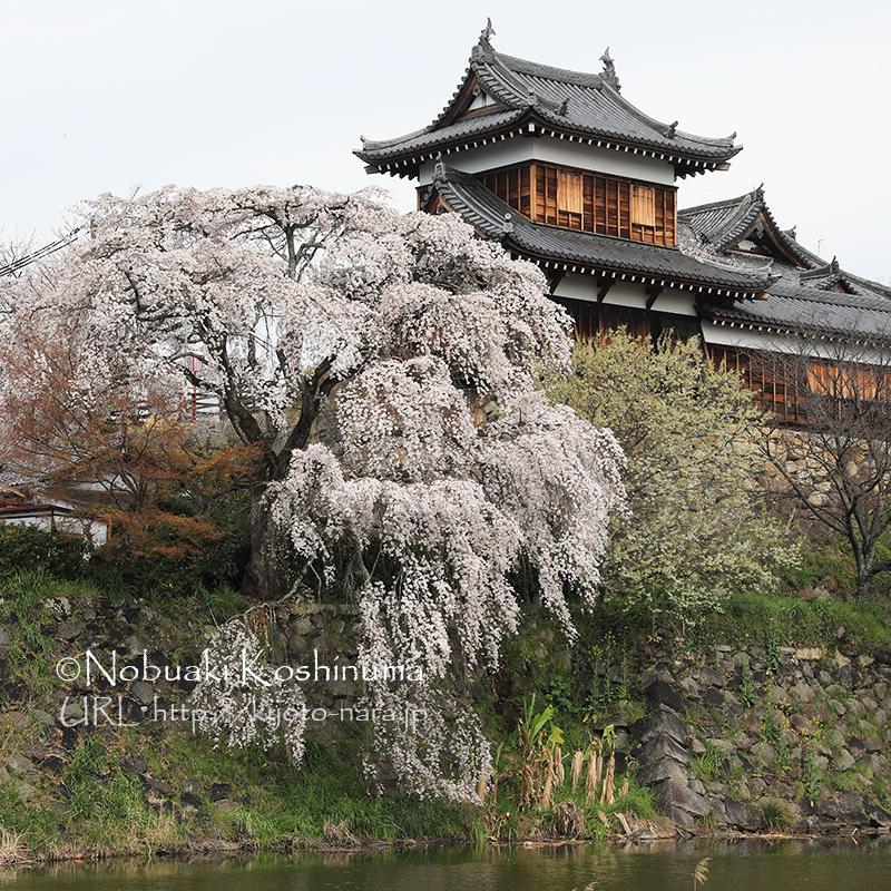 大和郡山城 しだれ桜
