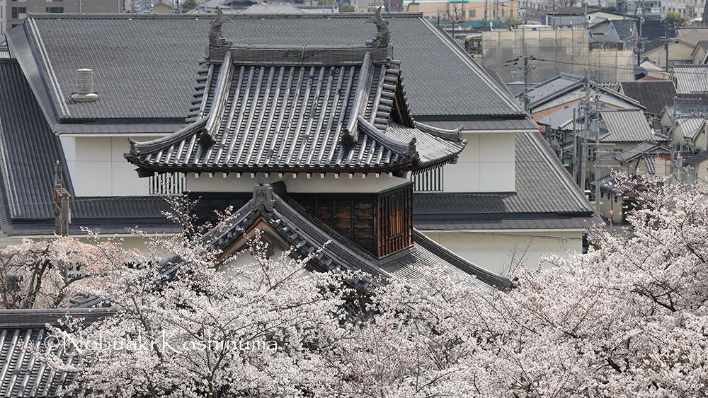 大和郡山城 桜