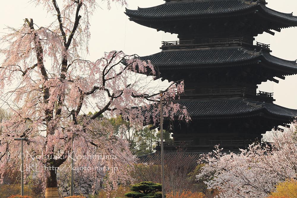 東寺 不二桜とソメイヨシノ