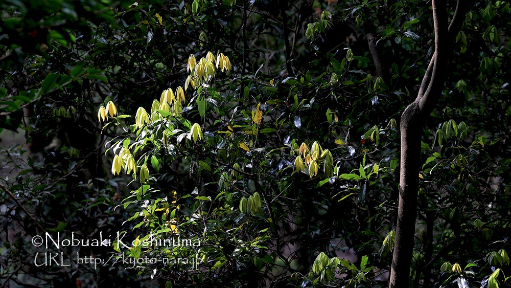 春日山原始林
