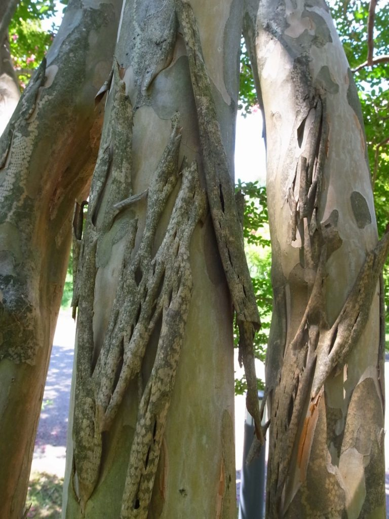 サルスベリ 樹皮