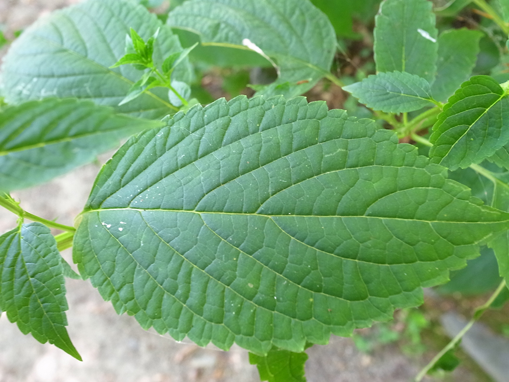 カリガネソウ 葉