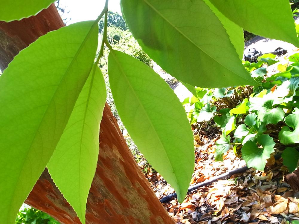 バクチノキ 博打の木 葉