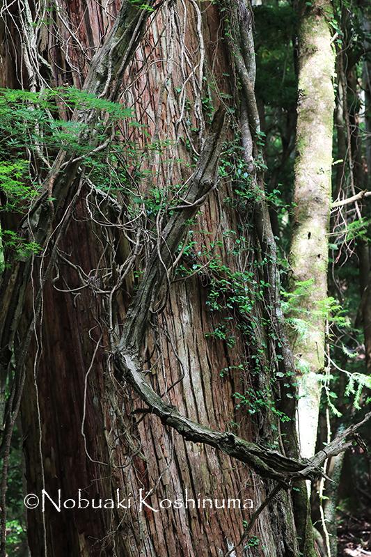 World Heritage Kasugayama Primitive Forest