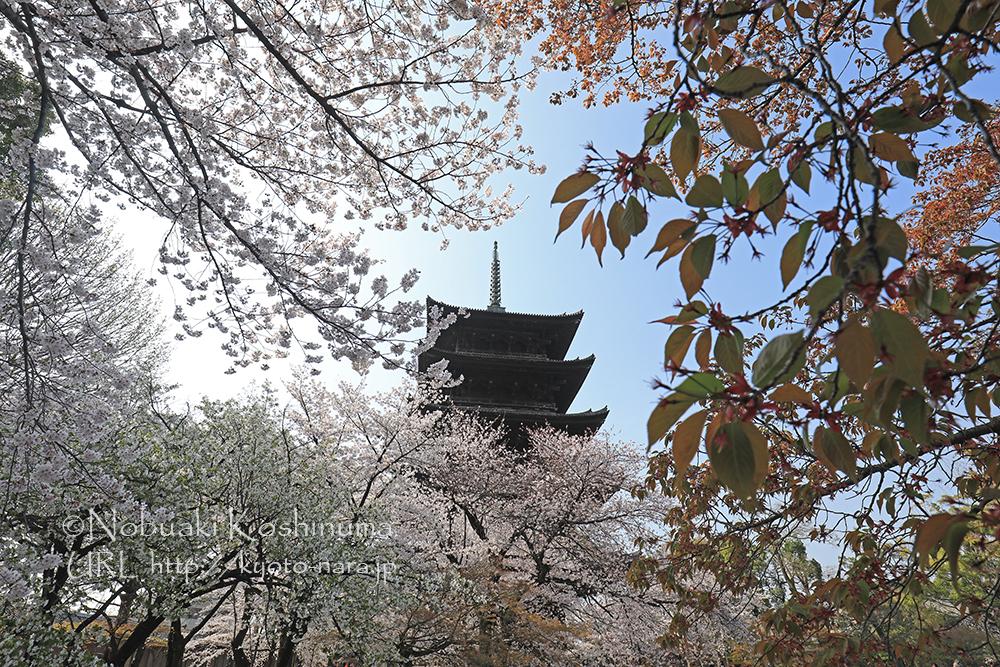 世界遺産 東寺 桜