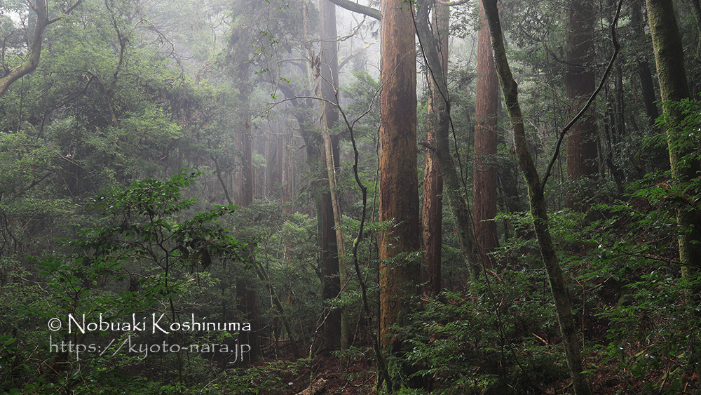 世界遺産 霧に包まれる春日山原始林