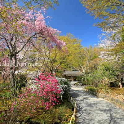 世界遺産 天龍寺 桜