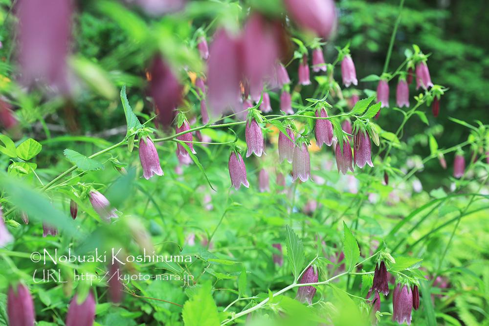 6月 京都府立植物園