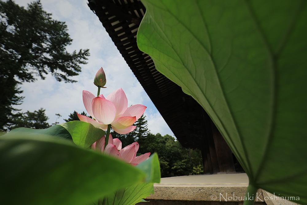 唐招提寺 金堂 蓮の花