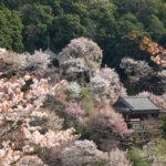 吉野 桜 世界遺産