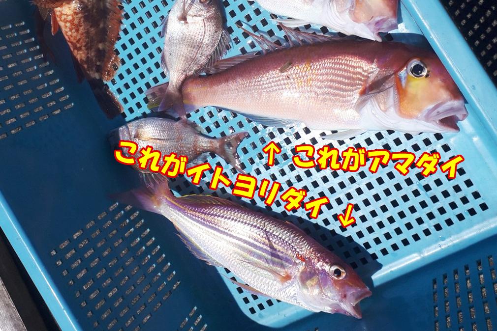 アマダイ、イトヨリダイ、真鯛 伊根町 船釣り