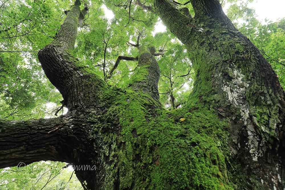 春日大社 大木 樹木